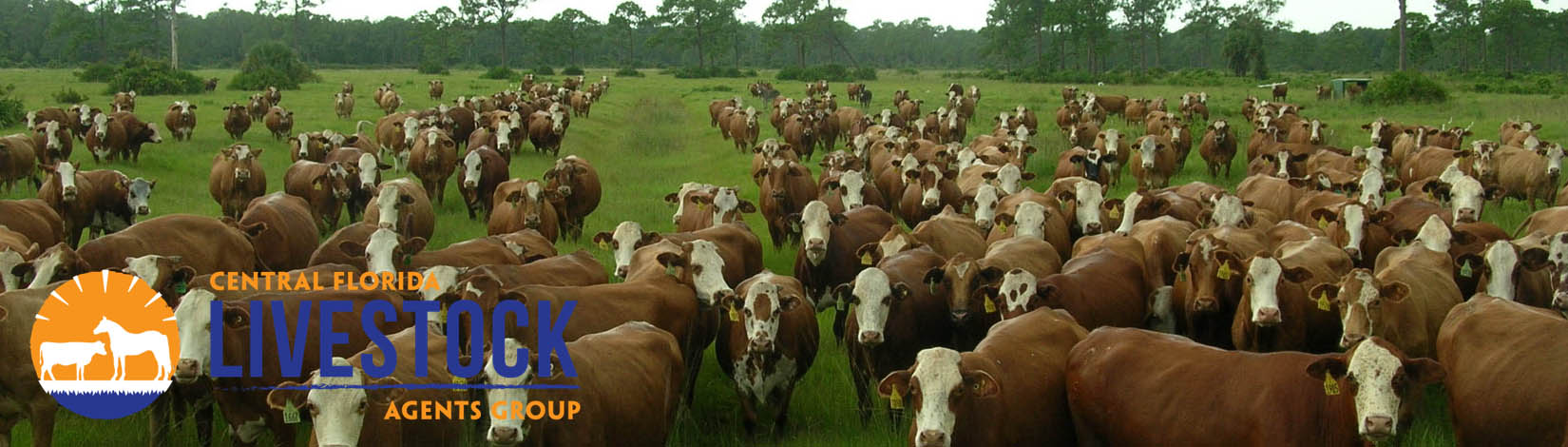 Cattle in Pines Header 28