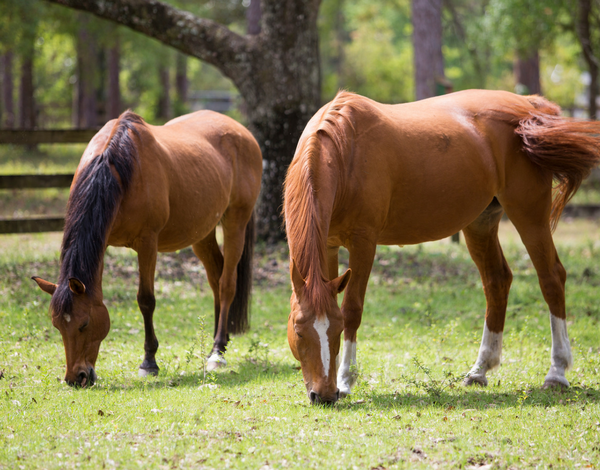 Horses grazing 600 x 470 3 subtopic box