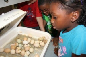 4-H embryology is a great way for school youth to learn about STEM and agriculture