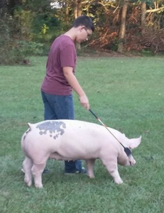 Proper placement of your crop or cane is very important. NEVER beat your pig with it!