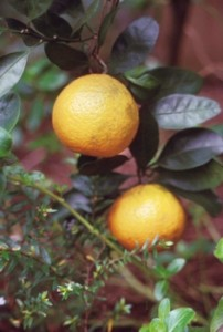 satsuma__smaller_by_David_W_Marshall