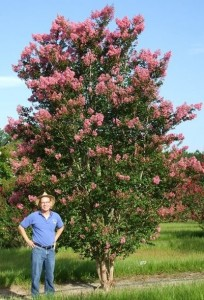 Crapemyrtle Cultivar: 'Sioux' Image Credit: Gary Knox