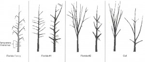 """Florida fancy"" is the best quality of tree, with quality decreasing to ""cull"" level.  Notice the difference in branch angles and direction between each group. Figure courtesy FDACS, Division of Plant Industry"