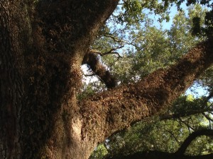 Dry, brown resurrection fern on a live oak after a period without rain. Photo credit: Carrie Stevenson