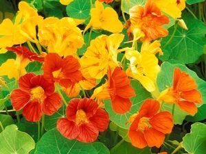 Brightly colored garden Nasturtium