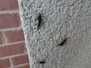 Adult lovebugs on building, Photo Credit: Larry Williams