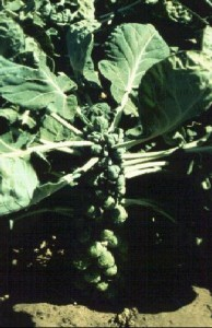 Brussels Sprout Plant Photo Credit: UF/IFAS Extension