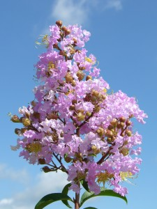 'Apalachee' has light lavender flowers. Photo by Gary Knox