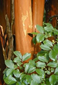 Cinnamon-orange bark of 'Apalachee'. Photo by Gary Knox