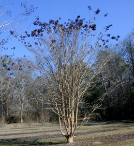 Seed capsules of 'Apalachee' add winter interest. Photo by Gary Gnox