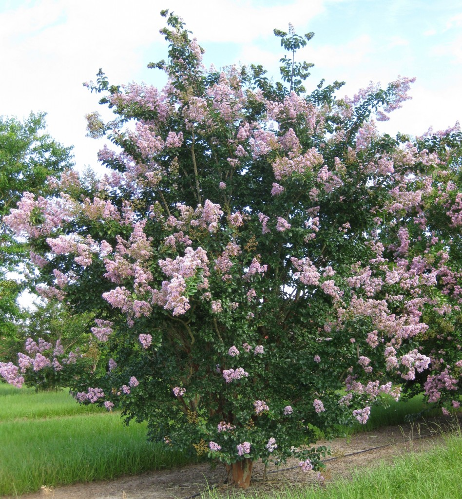 'Apalachee' crapemyrtle in full bloom. Photo by Gary Knox