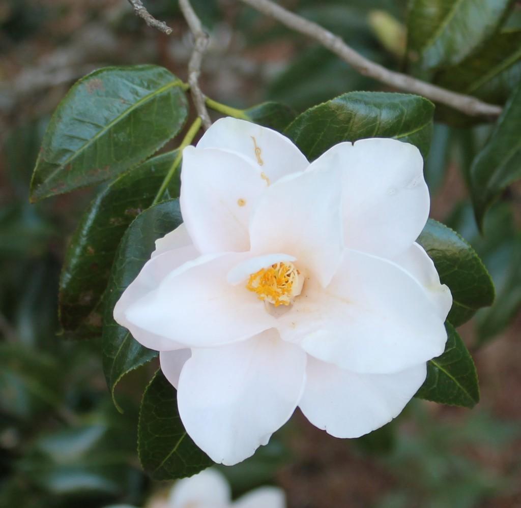 Flower of Camellia japonica 'Magnoliaeflora' Image Credit Matthew Orwat