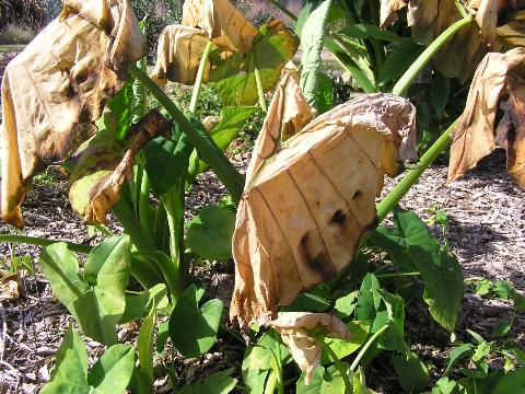 Cold damage on Ornamental. Image Credit Eddie Powell UF IFAS Extension Walton County