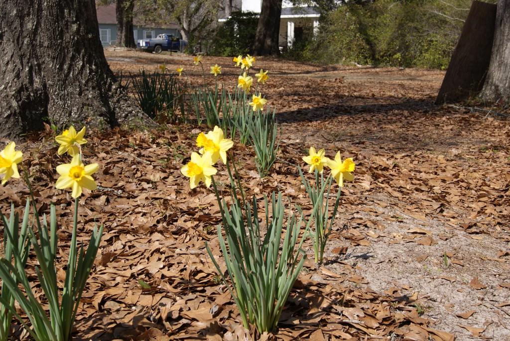 Daffodil bulbs under trees. Image credit Matthew Orwat
