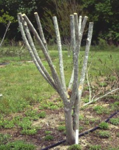 "Figure 2. Topping is the drastic removal of large-diameter wood (typically several years old) with the end result of shortening all stems and branches. Topping crapemyrtle is often referred to as ""crape murder"" because topping usually is not recommended for crapemyrtle. Image Credit Dr. Gary Knox"