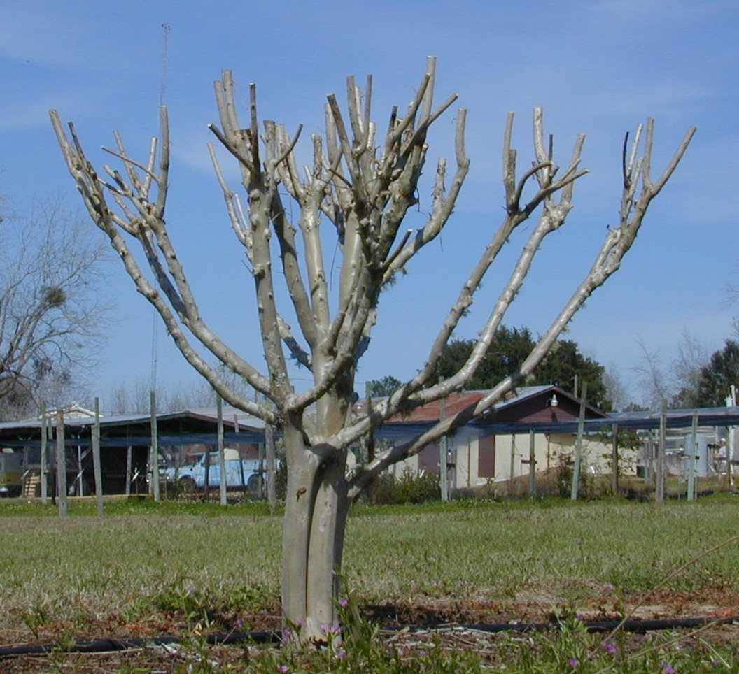 "Figure 1. Topping is the drastic removal of large-diameter wood (typically several years old) with the end result of shortening all stems and branches. Topping crapemyrtle is often referred to as ""crape murder"" because topping usually is not recommended for crapemyrtle. Image Credit Dr. Gary Knox"