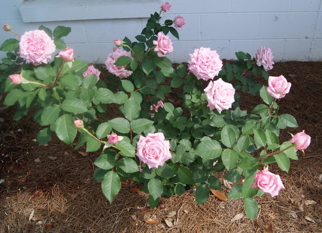 First flush of properly pruned Belinda's Dream shrub rose. Image credit Matthew Orwat