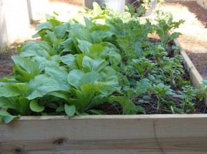 This raised bed garden is used at the Roy Hyatt Environmental Center to teach youth about gardening and provide food for numerous animals housed at the center.  Photo credit: Molly O'Connor