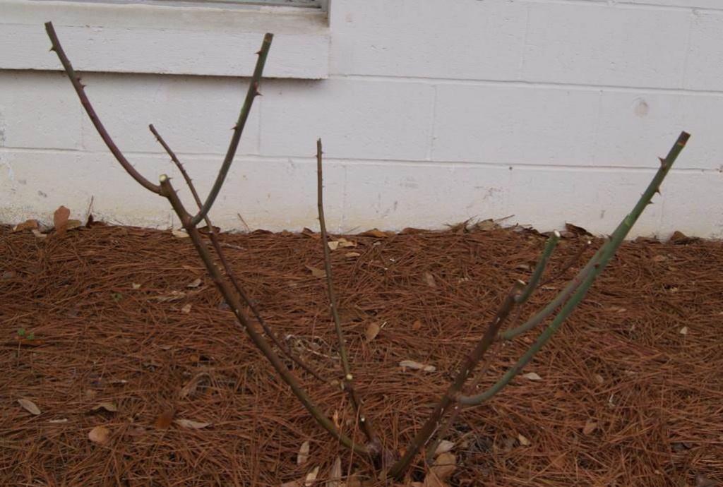 Belinda's Dream rose after pruning. Image Credit Matthew Orwat