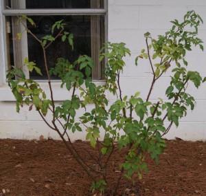 Belinda's Dream rose before pruning. Image Credit Matthew Orwat