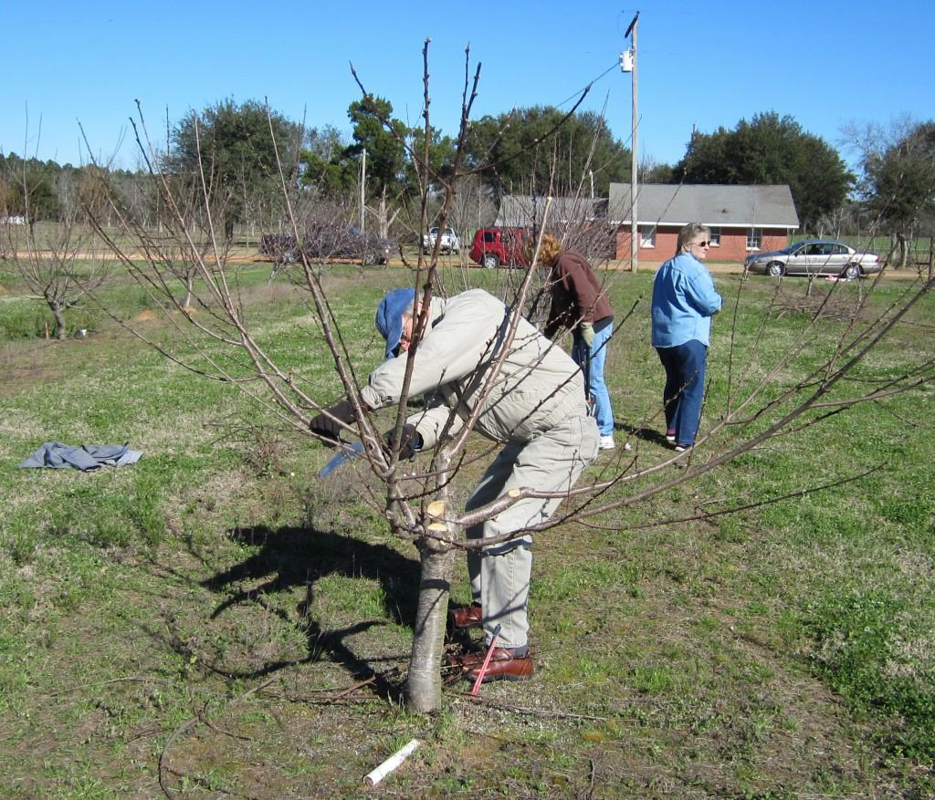 Santa Rosa County Master Gardener Pruning a Stone Fruit tree at the WFREC