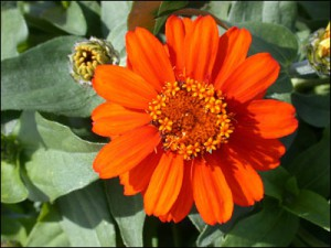 Zinnias come in a variety of colors, shapes and sizes. Photo courtesy of UF/IFAS.