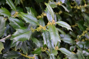 Holly flowers will soon open.   Photo:  Beth Bolles, UF IFAS Escambia County Extension
