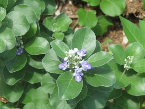 Beach vitex is a newly introduced invasive found on our local barrier island due systems.  Photo credit: Rick O'Connor