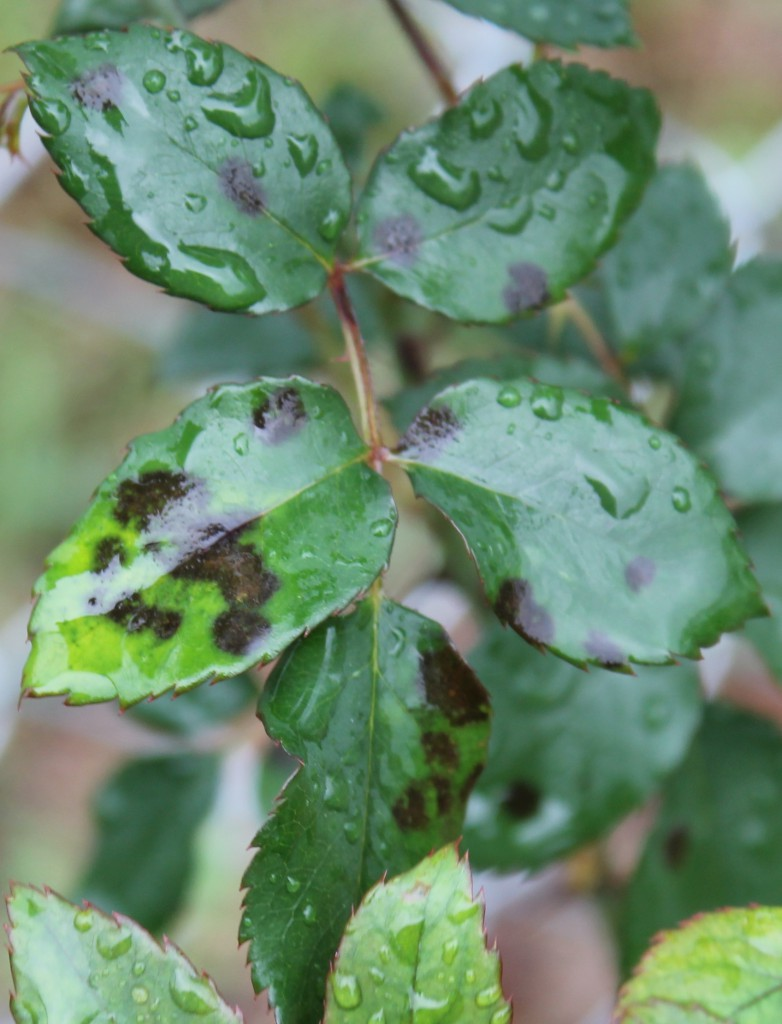 Wet, blackspot affected leaves. Image Credit Matthew Orwat