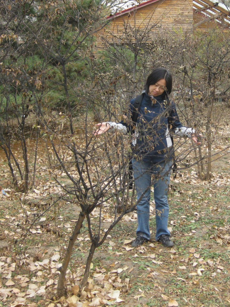 Figure 3. Dr. Gu is dismayed at seeing this crapemyrtle planting infested by scale (note the black sooty mold on stems). [Photo by Gary Knox in Beijing, China]