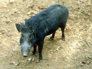 Wild hogs cause significant damage to ecosystems throughout Florida.