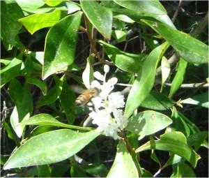 Bee visits a Black Titi flower.  Image credit: Alex Bolques