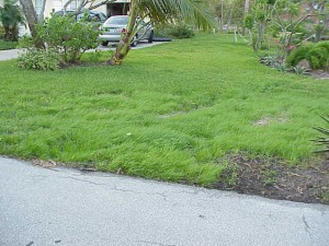 Kentucky bluegrass, fescuegrass & ryegrass (annual ryegrass pictured) can be seeded to provide a temporary winter lawn but will not provide a permanent lawn in Florida due to our hot, wet summers. Photo Credit: Dan Culbert, UF/IFAS