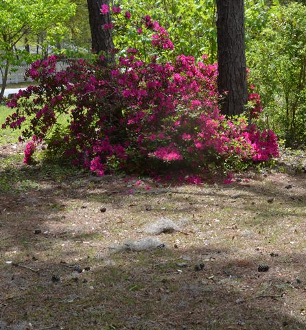 While the azaleas may be blooming, most north Florida Lawns still need some work to be ready for the growing season.