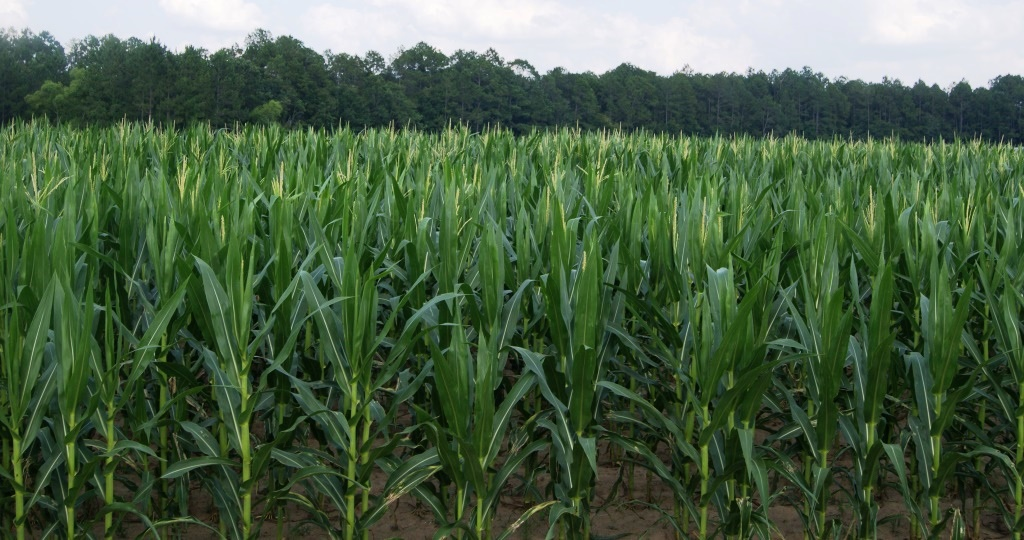 Corn Field. Image Credit Matthew Orwat
