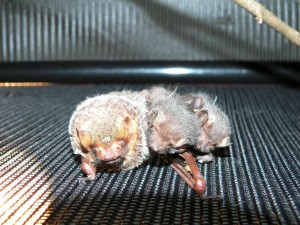 These twin Seminole bat pups were found on the ground with their mother and nursed back to health at the Wildlife Sanctuary of Northwest Florida. Photo credit: Carrie Stevenson