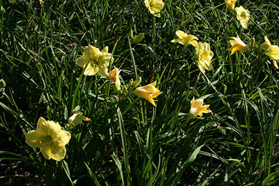 Daylillies in bloom. Image Credit UF IFAS
