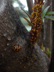 Lady bird beetle and aphids.  Photo:  Julie McConnell, UF/IFAS