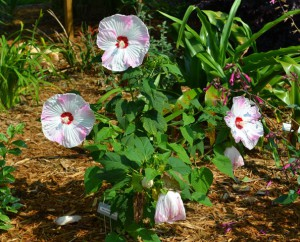 Flowering plants benefit from fertilizer but make sure your soil needs the nutrients before an application.  Photo:  Beth Bolles, UF IFAS Escambia Extension