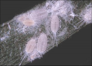 Mealybugs. Credits: James Castner, University of Florida