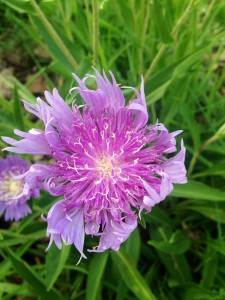 Stokes' Aster in bloom.