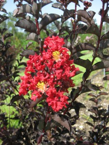 'Ebony Fire' is a new crapemyrtle with burgundy leaves and bright red flowers. Photo by Gary Knox
