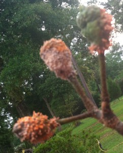 Cedar-Apple rust or Cedar-Quince rust ( Gymnosporangium) symptoms on pear fruit