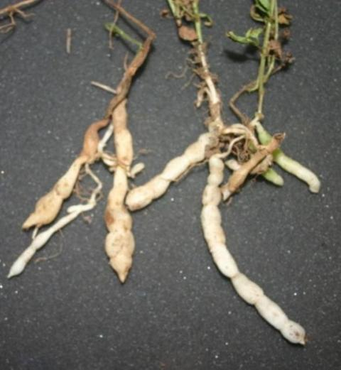 Florida betony weed tubers Photo Credits: UF/IFAS Extension