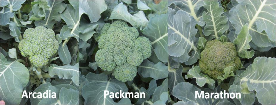 Broccoli Varieties. photo credit - Blake Thaxton