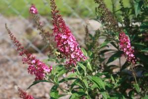 CranRazz Butterfly Bush (3)