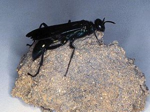 Mud dauber, Photo Credit: UF/IFAS Extension