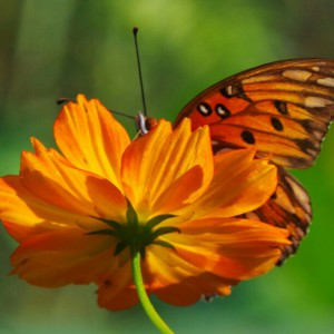 Gulf Fritillary. Photo Courtesy Scott Jackson.