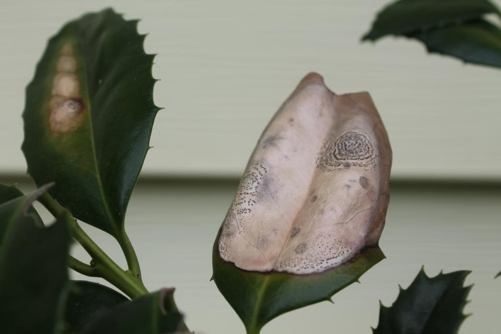 Holly leaf infected with Phyllosticta. Image Credit Matthew Orwat