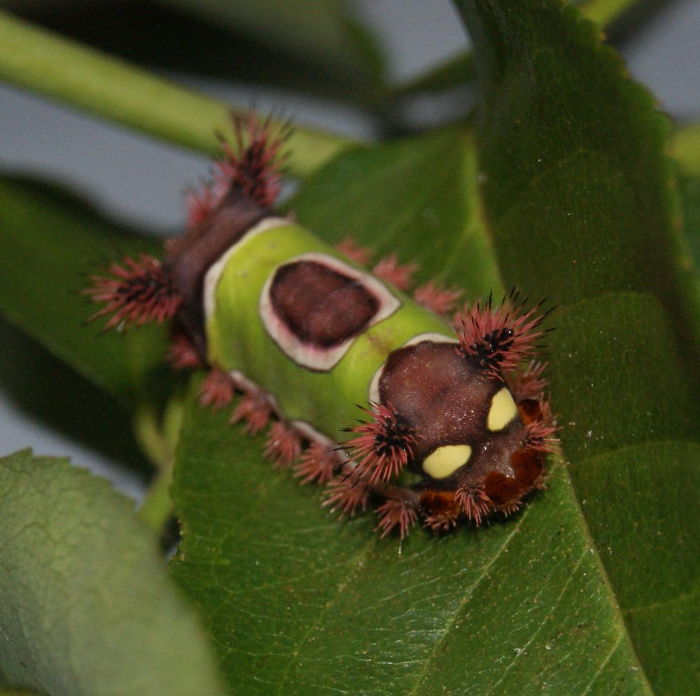 Saddleback Caterpillar, Acharia stimulea. Image Credit Matthew Orwat